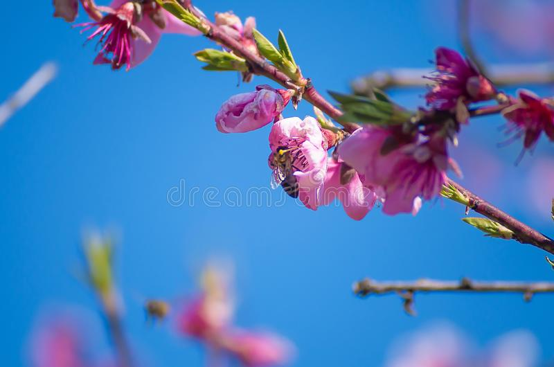 The bee collects nectar from flowering peaches in the spring. Peach flowers against a blue spring sky background. Pink flowers royalty free stock image