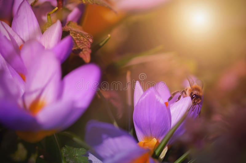 Bee collects nectar from flowers crocus. Bee collects nectar from purple wildflower in field stock photos