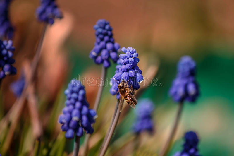 A bee collects nectar from flowers of Muscari royalty free stock image