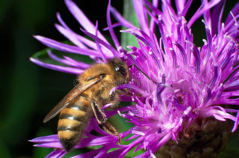 A bee collects nectar from flowers. stock photos