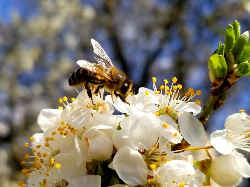 bee collects nectar on the flowers of white blooming apple. Anthophila, Apis mellifera royalty free stock photos