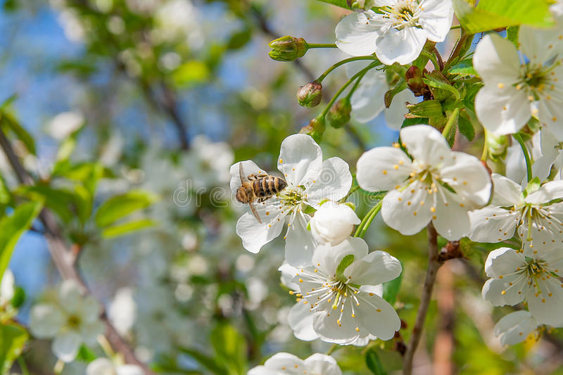 Bee collects nectar and pollen on a blossoming cherry tree branch. Close up view of bee collects nectar and pollen on a white blossoming cherry tree branch stock photo