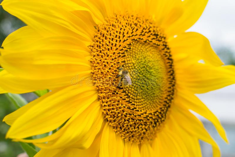 The bee collects nectar on a young yellow sunflower flower with petals. The bee collects nectar on a young yellow sunflower flower with large petals, background royalty free stock image