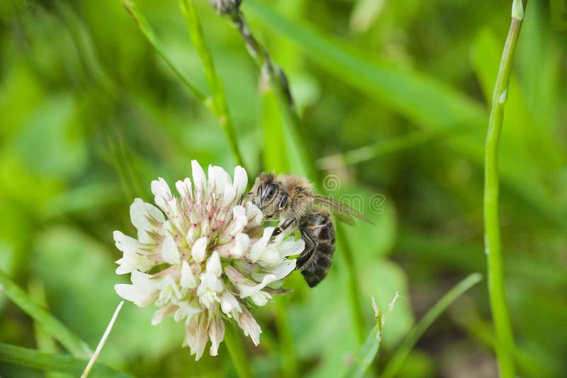 Bee collects nectaring on white clover wild flower royalty free stock images