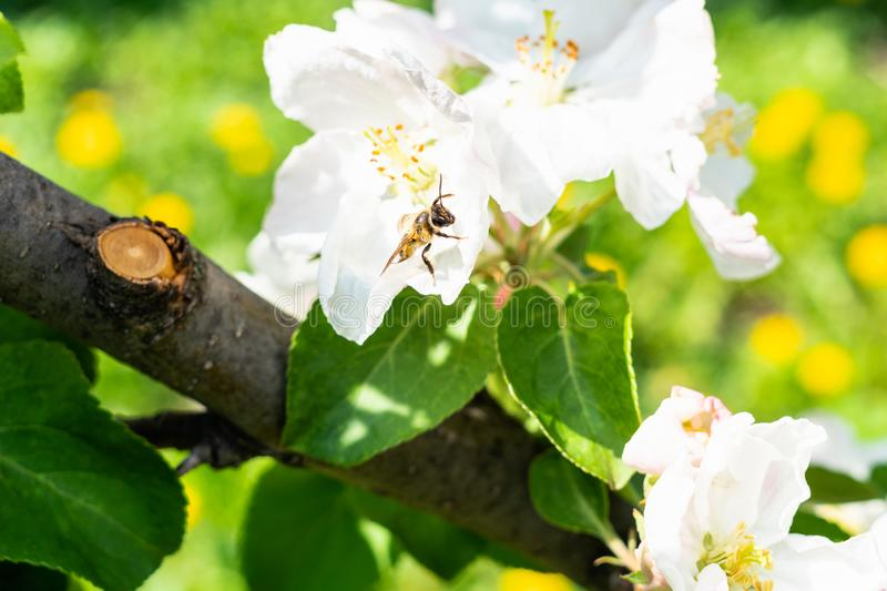 Bee collects pollen in blossom of tree on meadow stock images