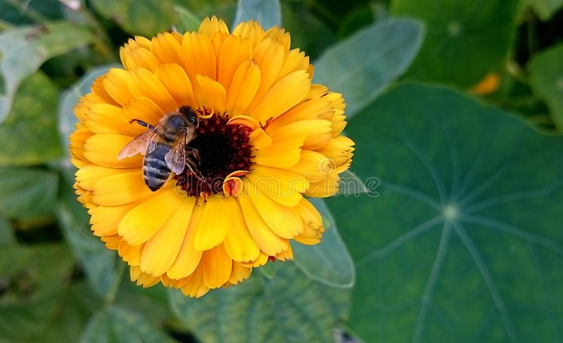 The bee collects the pollen. The bee collects pollen from a bright flower. A flower is like the sun on a clear day an the sun stock image