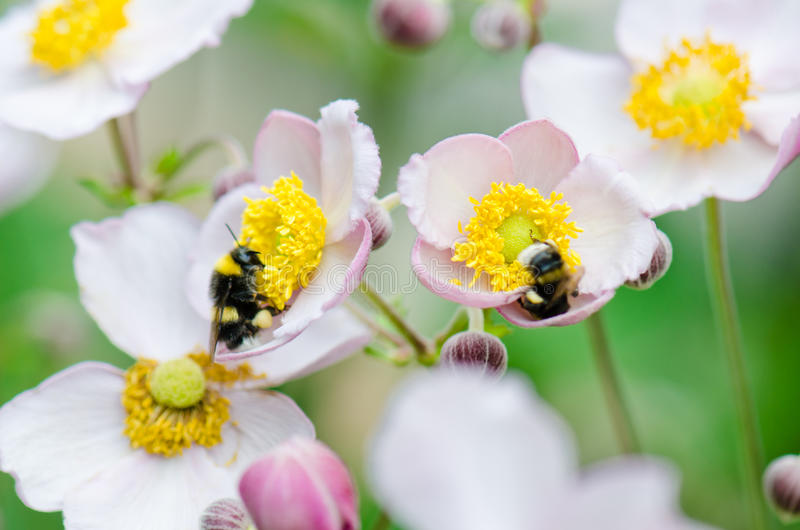 A bee collects pollen from flower