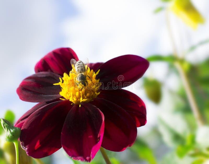 Bee collects pollen. Flower in summer garden. Bee collects pollen stock image
