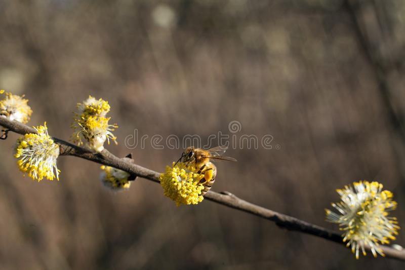 The bee collects pollen on the flowering tree. Bee on catkins. Yellow pollen on twigs and on bee. stock photography