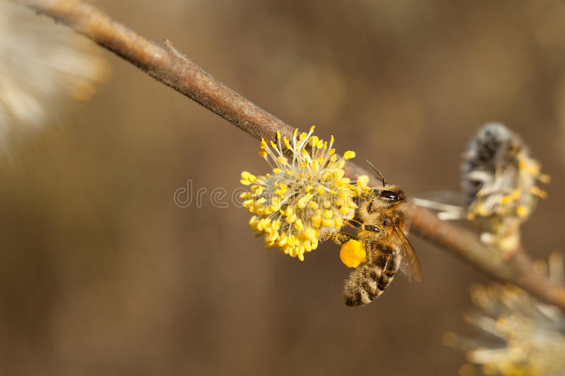 The bee collects pollen on the flowering tree. royalty free stock photos