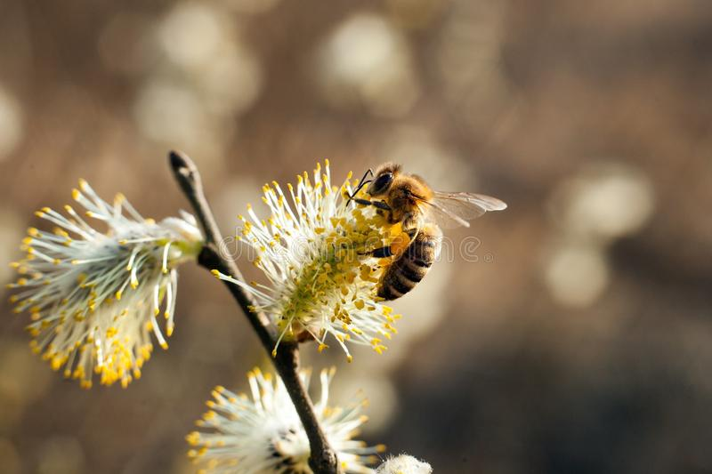 The bee collects pollen on the flowering tree. stock photo