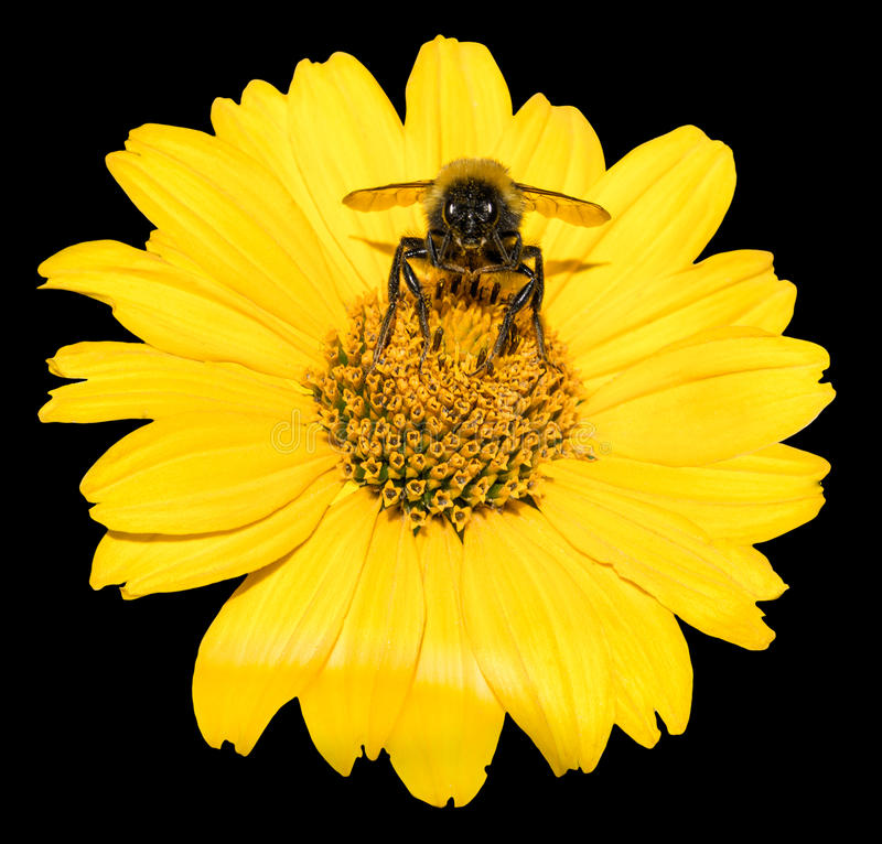 Free Bee Collects Pollen From Yellow Flowers Perennial Aster Isolated Royalty Free Stock Image - 56893646