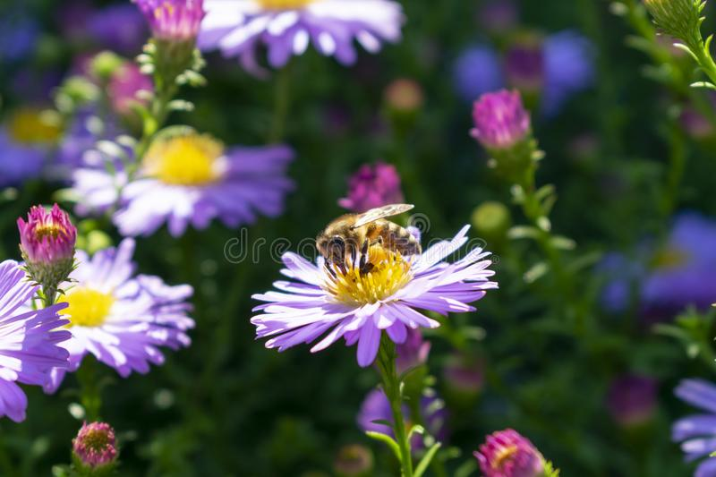 Bee collects pollen from lilac flowers aster in autumn, stock photography