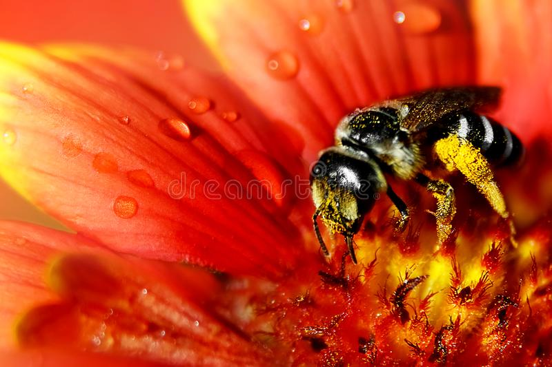 The bee collects pollen and nectar on a beautiful red-yellow flower in droplets of water. royalty free stock photos