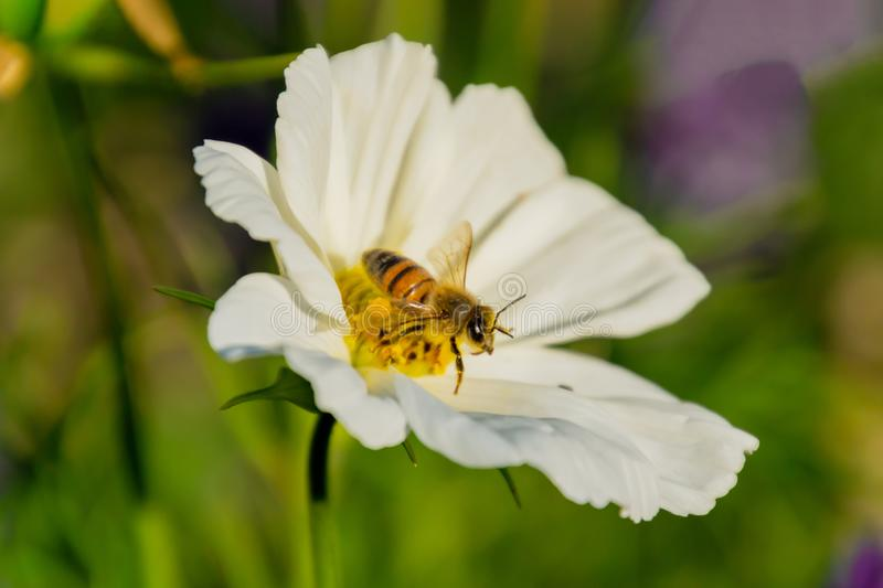 A bee collects pollen and nectar on the flower of the white cosmea. Flora, garden, nature, plant, meadow, background, beautiful, bloom, closeup, detail, macro stock photography