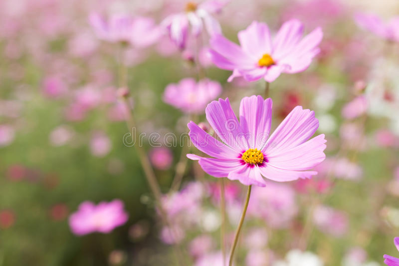 Bee collects pollen from pink flowers perennial asters in the ga download bee collects pollen from pink flowers perennial asters in the ga stock photo image mightylinksfo