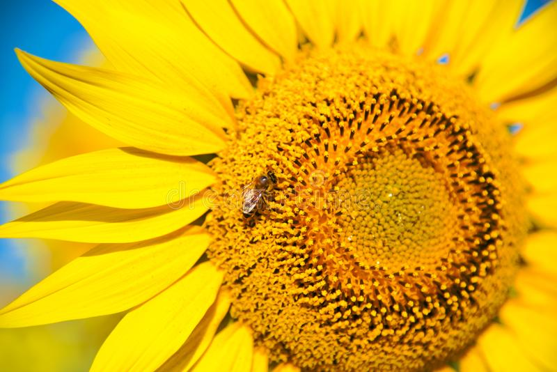 Bright sunflower flower with a bee collecting pollen stock photos