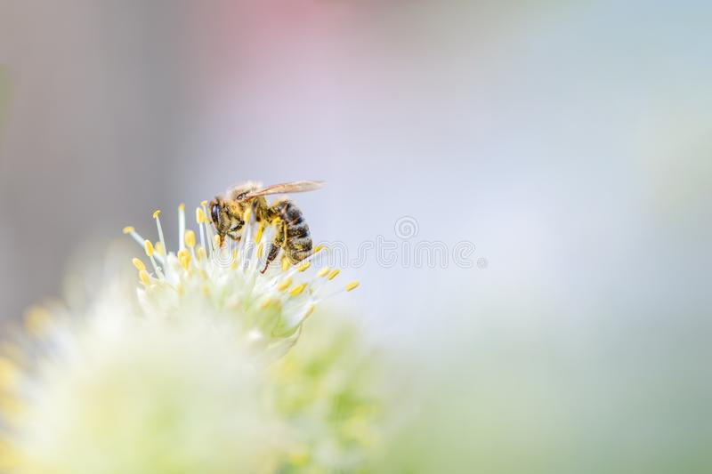 Bee collects pollen on a white flower. Horizontal photo stock image