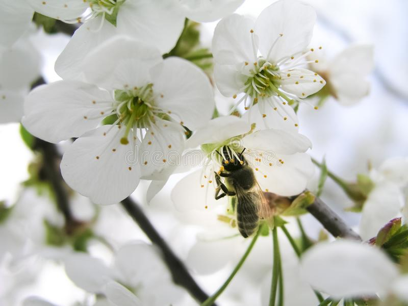 The bee collects pollen from white flowers cherry tree. royalty free stock image