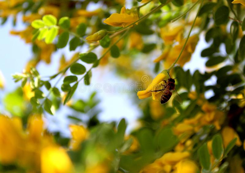 The bee collects pollen from the yellow acacia flower royalty free stock photography