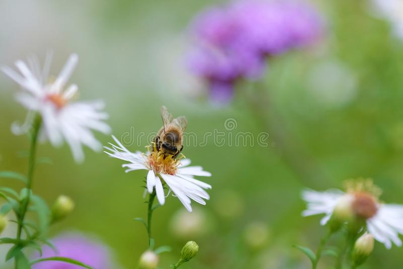 A bee collects pollens at Chalice Well, Glastonbury, England. A bee collects pollens at Chalice Well Garden in Glastonbury, England. Bees are crucial pollinators royalty free stock image