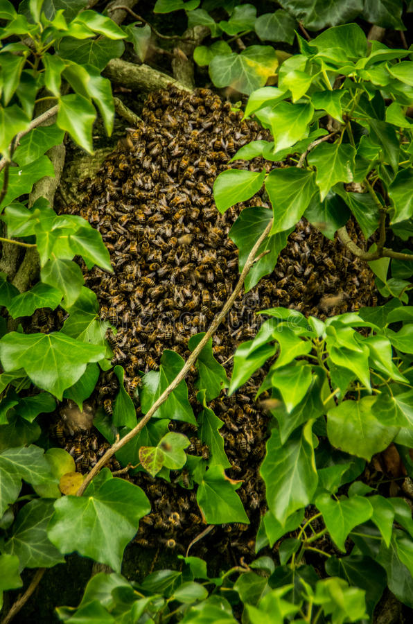 Bee colony of bees in a tree. Bee colony in a tree between leafs stock photography