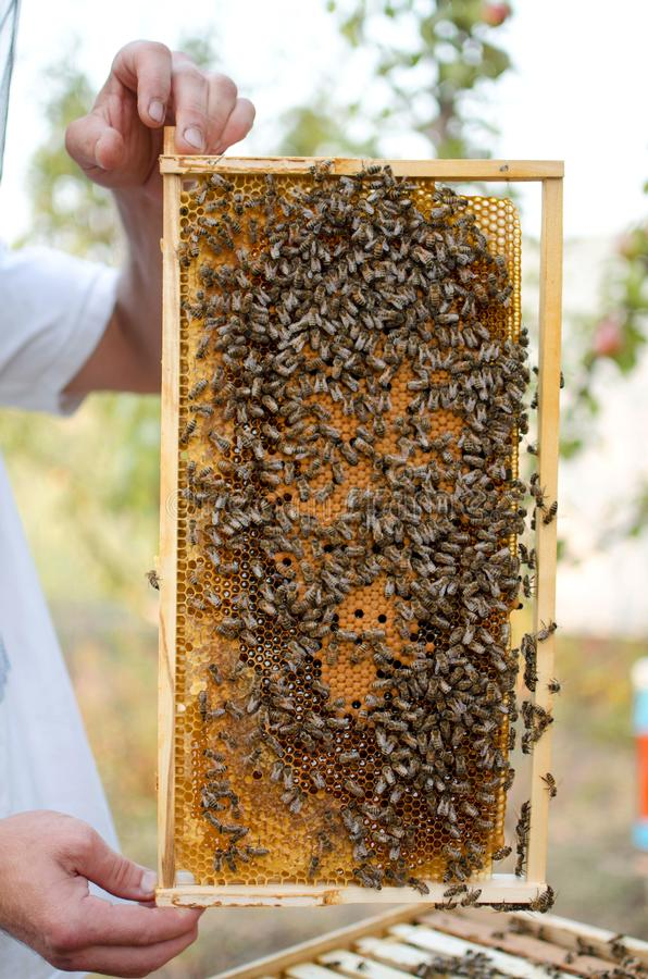 Bee colony on the honeycombs. Beekeeping and getting honey. Hive. On the background stock image