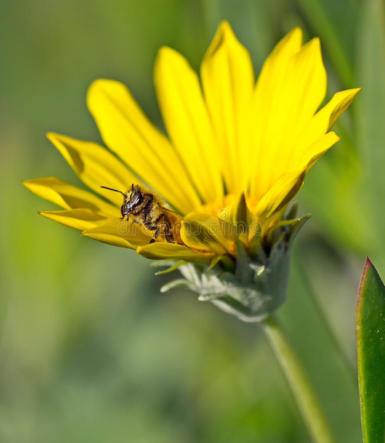 Download Bee Coming Out Of A Sunflower Stock Image - Image: 24184025