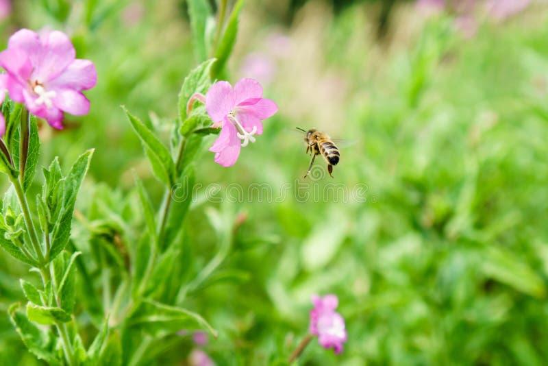 Honeybee Apis mellifera approaching flower. Honeybee Apis mellifera coming in to land on a flower in a meadow in Teddington, West London royalty free stock images