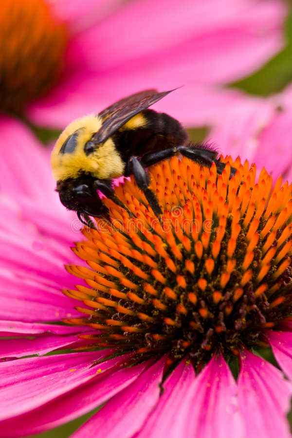Bee on Coneflower 4674 stock images