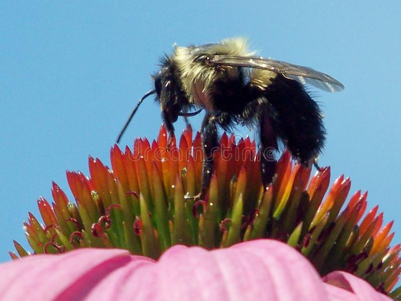 Download Bee on coneflower stock image. Image of bubble, cone, flower - 6483929