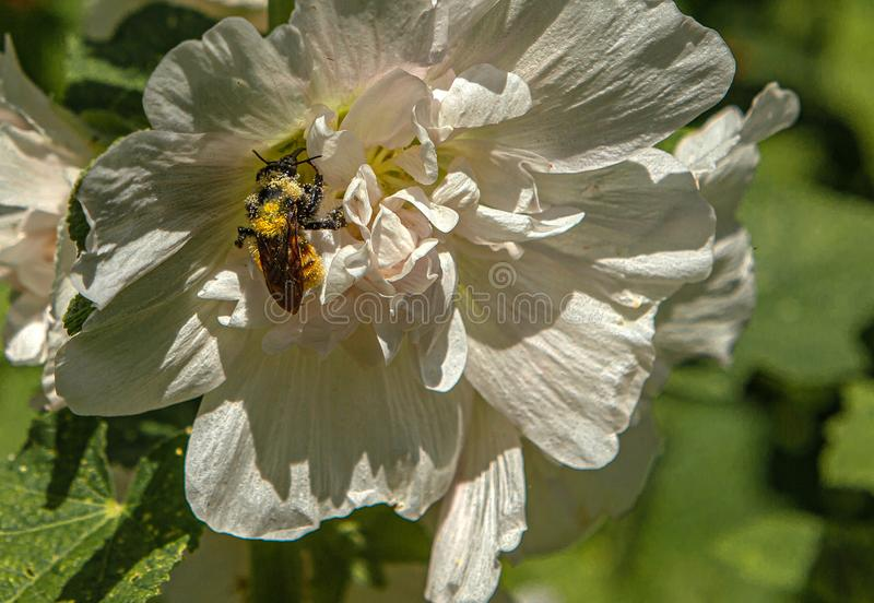 Bee Covered in Pollen and Nectar on White Hollyhock Flower, Ridgway, Colorado royaltyfri fotografi