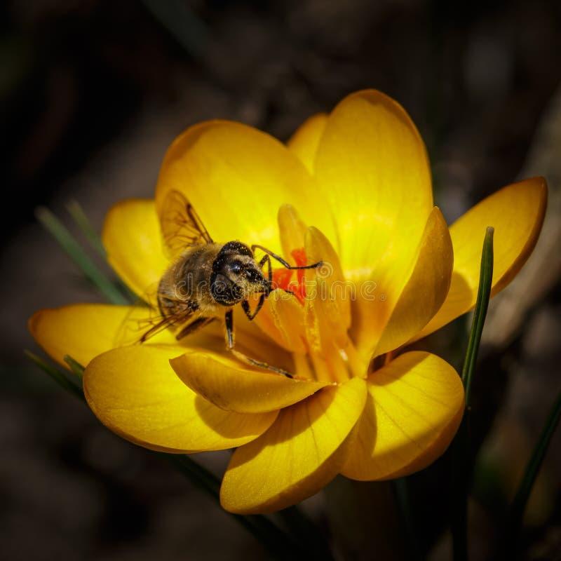 Bee at crocus chrysanthus royalty free stock photos