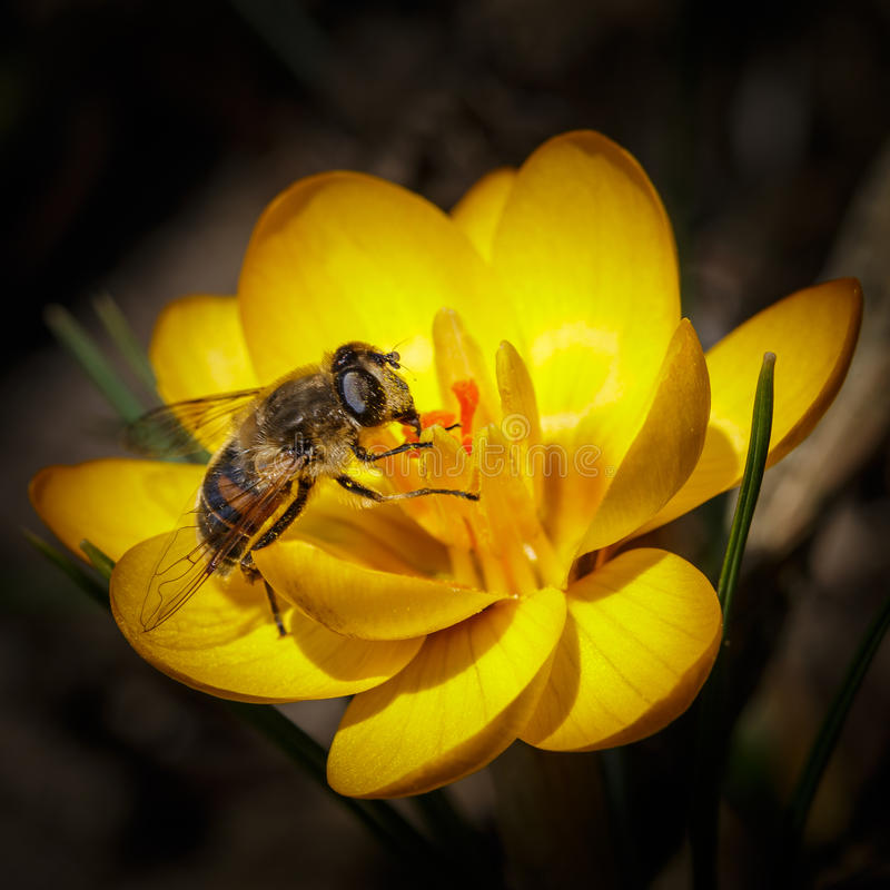 Bee at yellow crocus stock photography