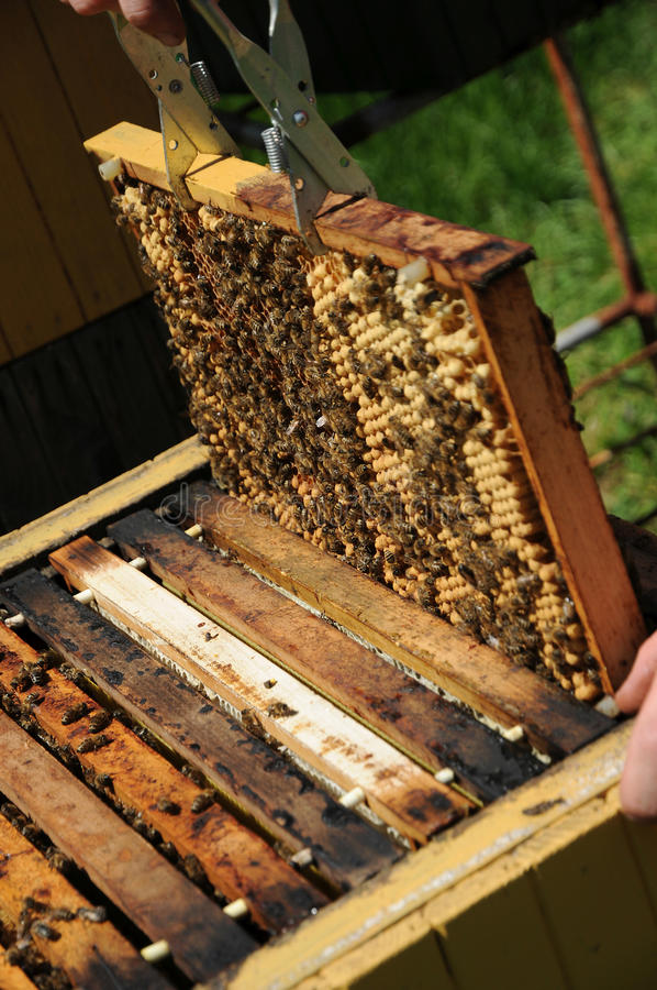 Bee culture. Honeycomb control in wooden beehive stock photo