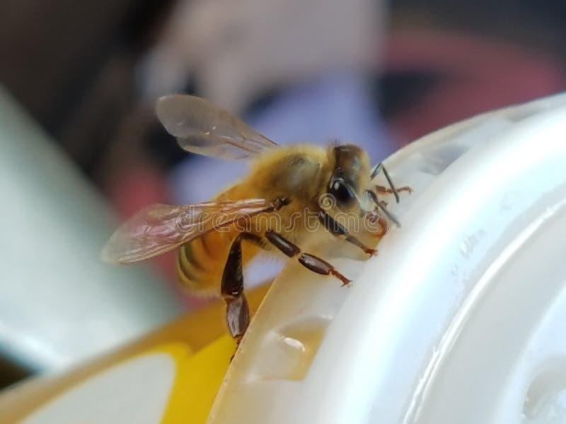 Bee royalty free stock photo