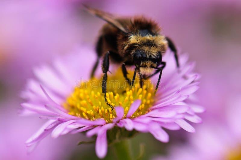 Bee on Daisy royalty free stock photography