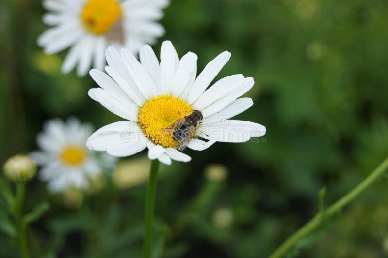 Bee on Daisy stock photography