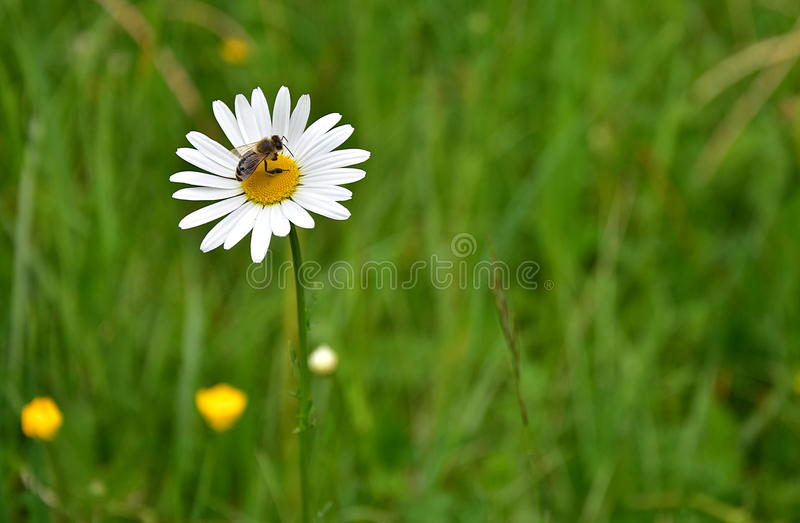 Bee on Daisy royalty free stock photo