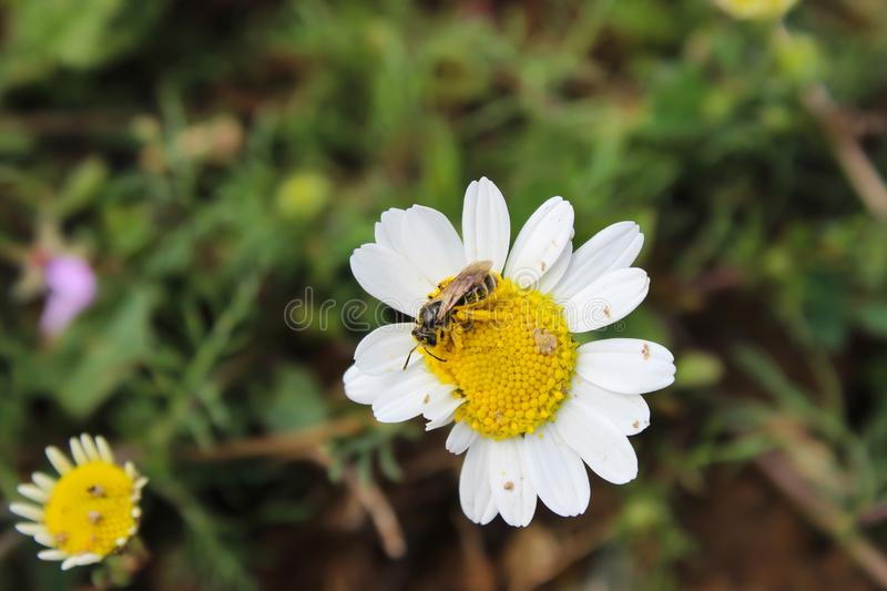 Bee on the daisy. Honeybee collects yellow pollens on the daisy flower stock photos