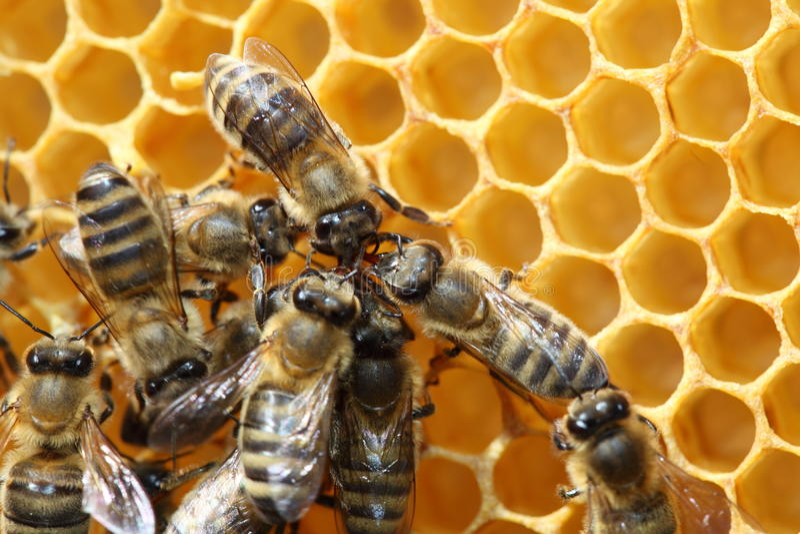 Download Bee dance stock image. Image of combing, honey, honeyed - 26821697