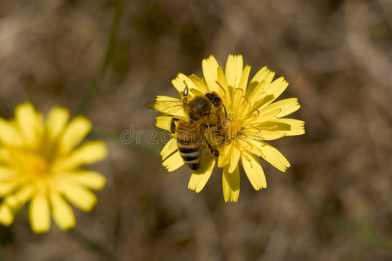 Download Bee On Dandelion Royalty Free Stock Photos - Image: 524338