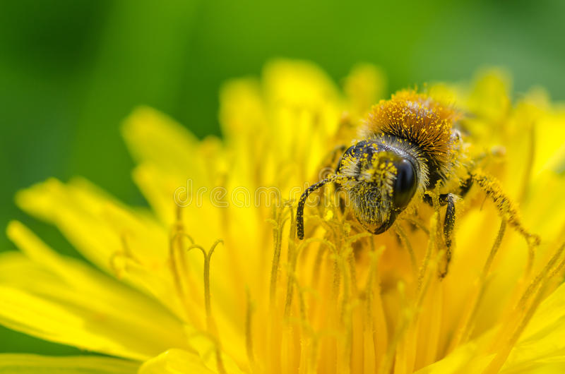 Bee on a dandelion. A bee covered with nectar on a dandelion royalty free stock image