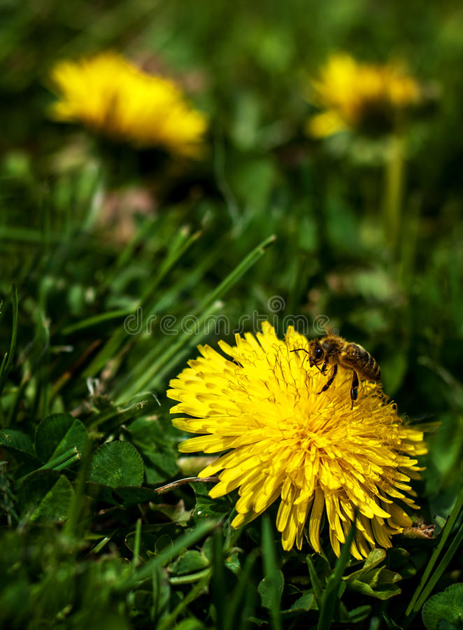 Bee in the Dandelion Flowers stock photography