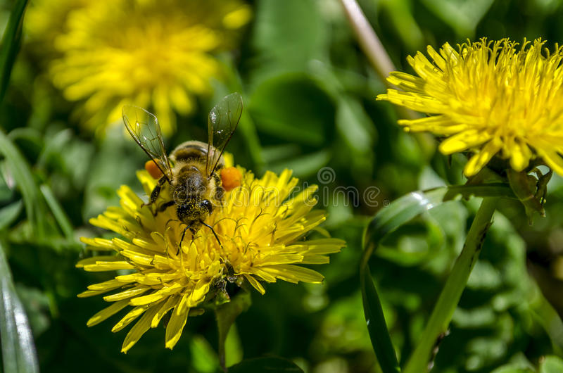 Bee on Dandelion stock photo