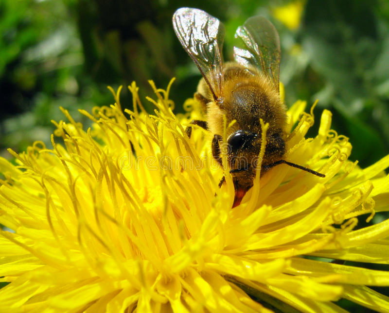 Bee on a Dandelion royalty free stock photos