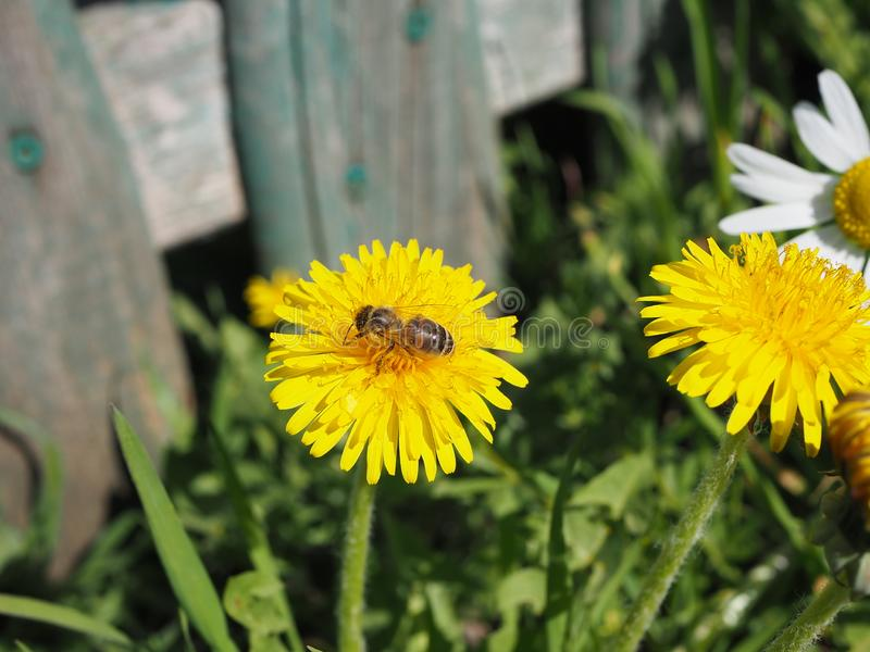 Bee on a dandelion, bee worker royalty free stock photos