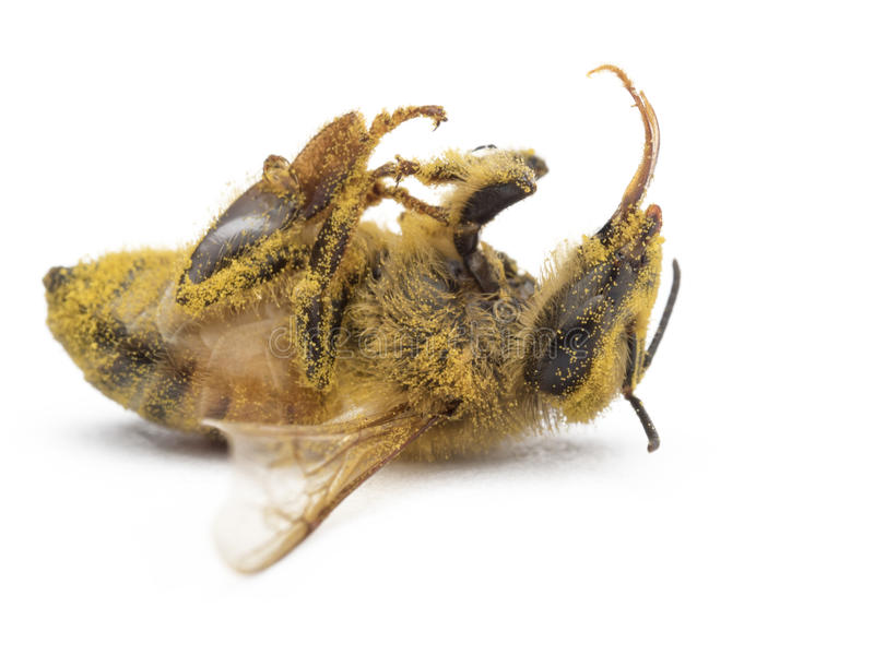 Bee dead stick sunflower pollen with macro royalty free stock photography