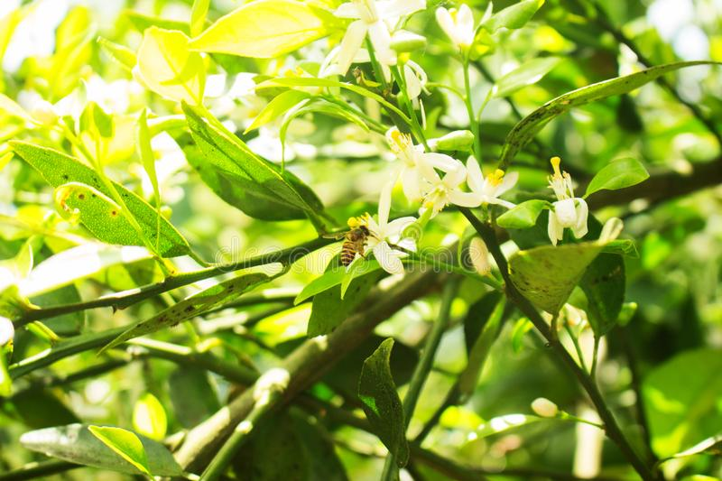 Bee Drink Citrus sinensis White Flower royalty free stock photo