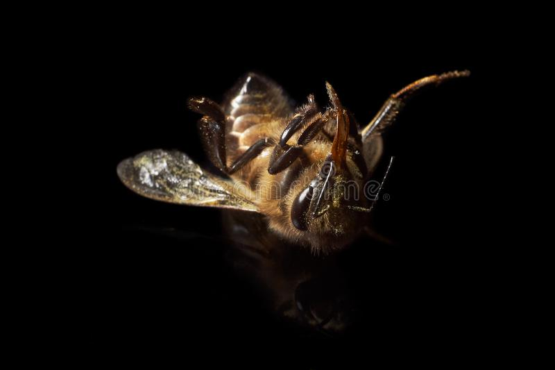 Bee dying from natural causes.  stock photography